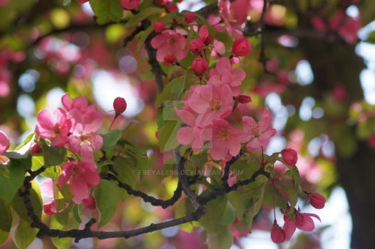 Apple Blossoms by freyaless