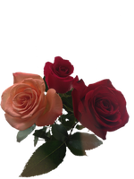 Roses png by Skitime123