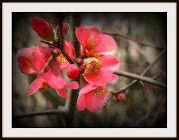 Flowering quince 3 by FallisPhoto