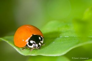 Coccinelidae 02 by dllavaneras