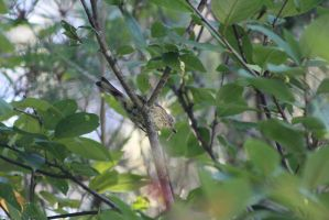 Wacky Warbler two by ringette-and-riding
