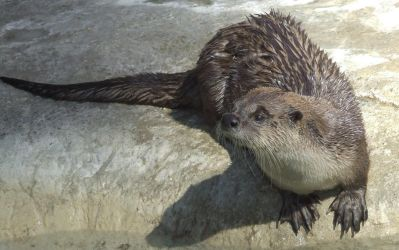 Otter full size by dtf-stock