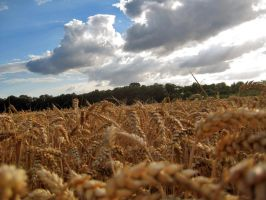 Wheat and Sky by simfonic