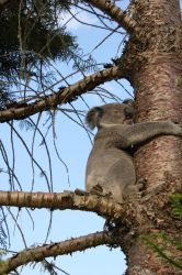 this Koala is up the wrong tree by GoblinStock