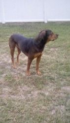 Rottweiler cross looking to the side by Galactic-Designs