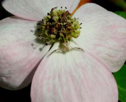 Thomisidae on Dogwood by duggiehoo