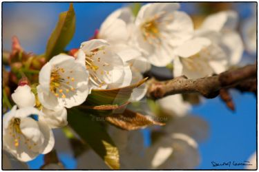 Yet Another Cherry Blossom Photography by Eulgrand