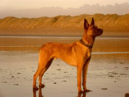 Malinois Beach 2 by Lorzx