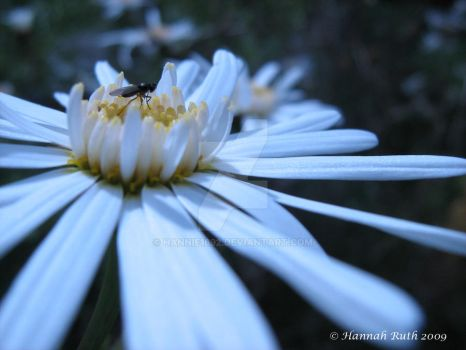 Fly on Daisy by hannie1692