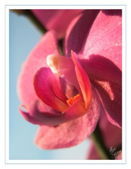 Winter Orchid by tuberosum