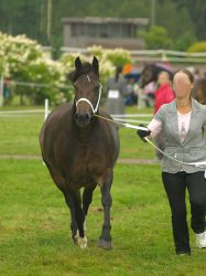 welsh c mare trotting by wakedeadman
