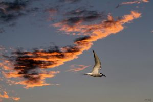 Common Tern by TakeMeToAnotherPlace