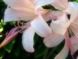 Lilies at Early Evening by ldhenson
