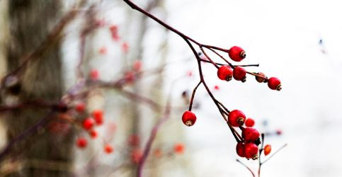 Winter Berries by kephart-design