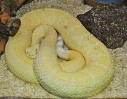 Albino WDB Rattlesnake by JayConstrictors12