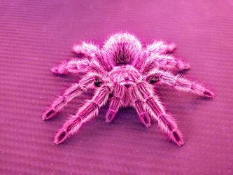 Pink Spider by Bunny-with-Camera