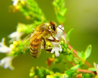 The Honey Bee by swashbuckler