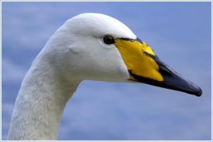 The Whooper Swan by Minnu