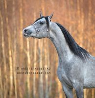 Portrait Of A Horse by Hestefotograf