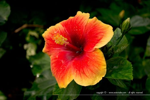 Hibiscus by aviatStudios