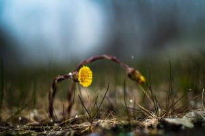 Coltsfoot by sulevlange
