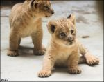 Baby lions, balls of cuteness by woxys