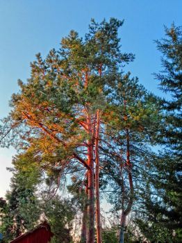 Tree in sunset  and blue sky by attilasebo