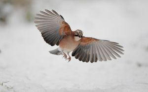 Flying in the snow by phalalcrocorax