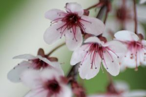 Cherry Blossoms 1 by sd-stock