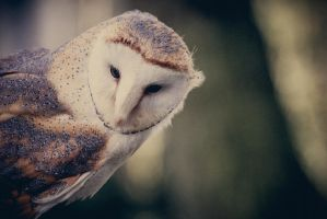 Peek-a-boo, barnowl by polychromical