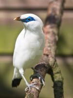 Bali Starling by WonderfulIndonesia
