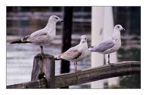 Seagulls2 by MichelleMarie