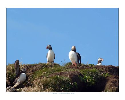 Puffins by voltball
