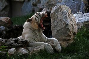 white tiger by mightylens