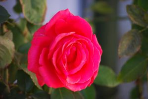 Red Rose 04 by Sageous