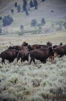 Bison Herd 04 by liorelysia
