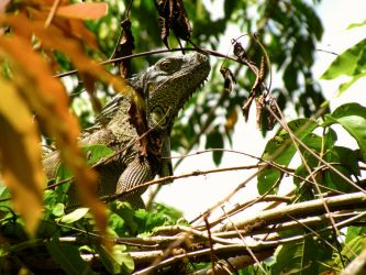 Iguanas of Xunantunich by fablehill