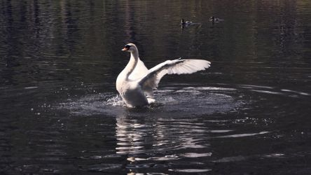 proud to be a swan by joannamalgorzata
