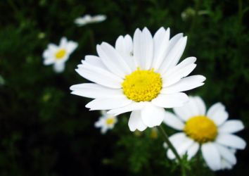 Daisy. by Soukster