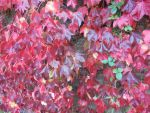 Leafs turning red pink yellow