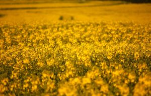 field of rape in spring by LoveForDetails