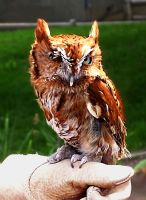 One-Eyed Screech Owl by Utukki-Girl