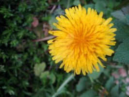 Dandelion by CelticStrm-Stock by CelticStrm-Stock