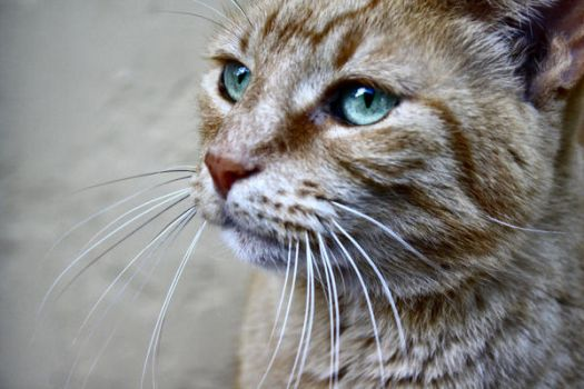 Tabby Cat II by thecitizeneraser