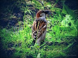 House sparrow........5 by gintautegitte69