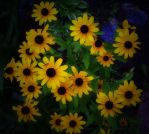 Blackeyed Susans by Misty2007