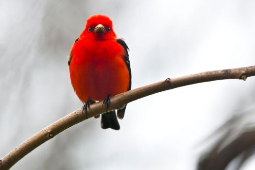 Scarlet Tanager  - June by MichelLalonde