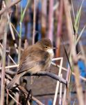 Clamorous Reed-Warbler by Chezza932