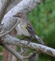 Yellow-rumped warbler 001 by Elluka-brendmer