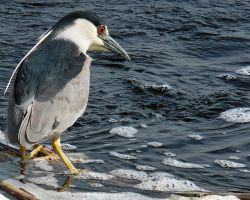Night Heron in the Daylight by papatheo